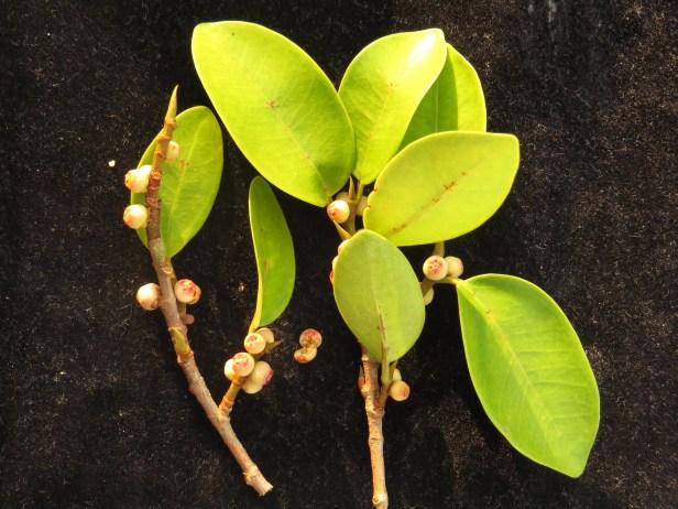 Ficus sp1_3_BDB_IMG_1143 - Copy 02