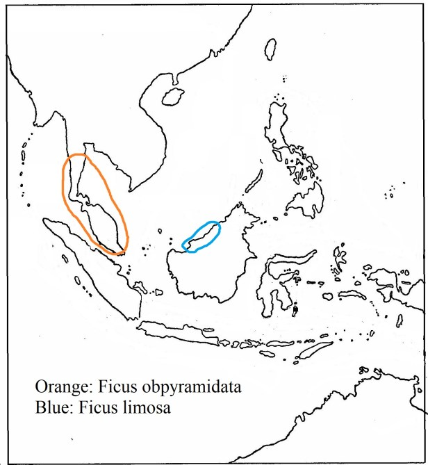 Obpyramidata 02   and Ficus limosa Corner 2005 map -  -.jpg
