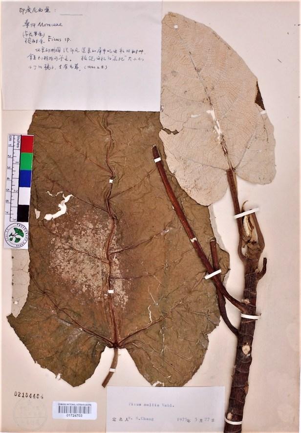 01 Ficus padana sp.—Indonesia—1960-s.coll., #s.n.—PE01724703 - Copy