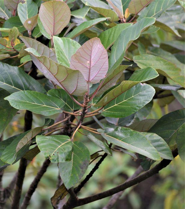 03 Ficus padana Tapanuli Sumatra Eka Siswyati IMG_4838