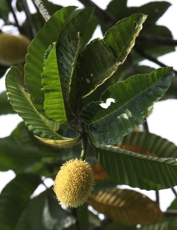 Artocarpus tamaran Borneo IMG_1123 - Copy