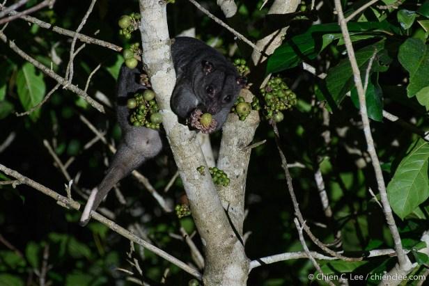Ficus congesta N Common cuscus cld1914008 Waigeo