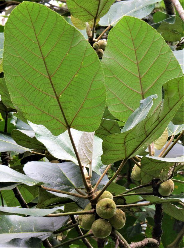 Ficus padana Tapanuli Sumatra Eka IMG_4838