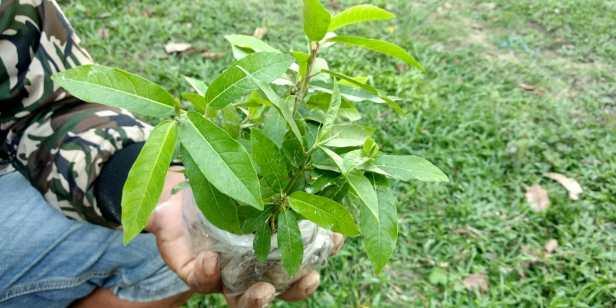 Ficus racemosa Katingan Mentaya Labay Dapi (4)