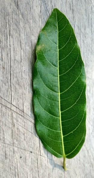 Ficus racemosa Katingan Mentaya Labay Dapi (5)