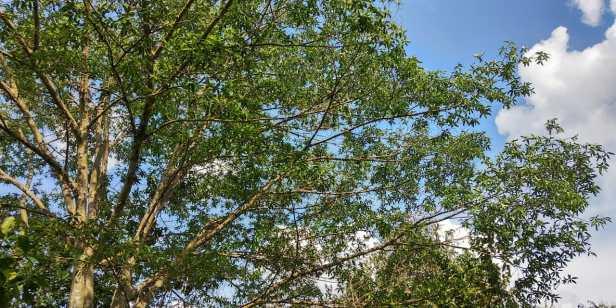 Ficus racemosa Katingan Mentaya Labay Dapi (7)