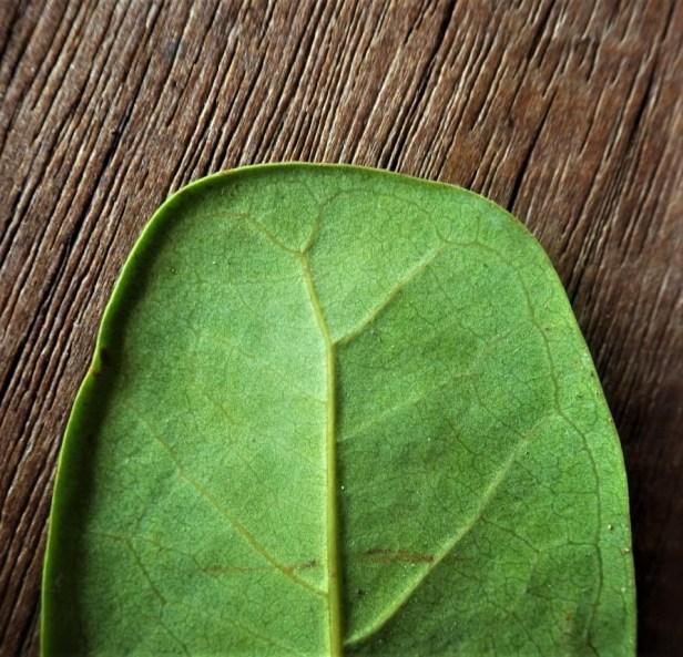 Ficus retusa pinggir Sg Katingan (6)