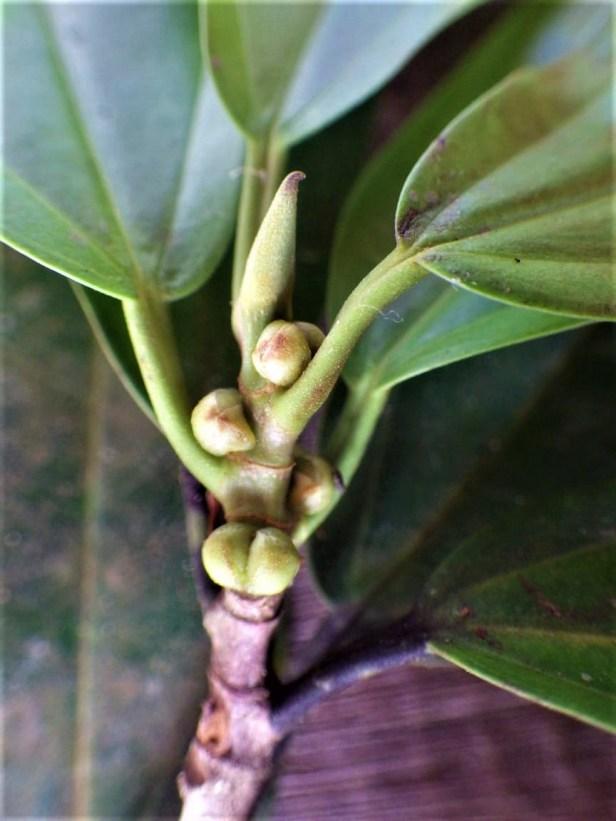 Ficus retusa pinggir Sg Katingan (9)