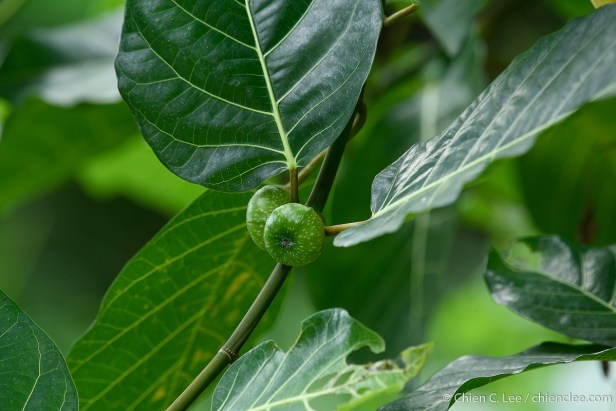 Ficus septica cld1913985