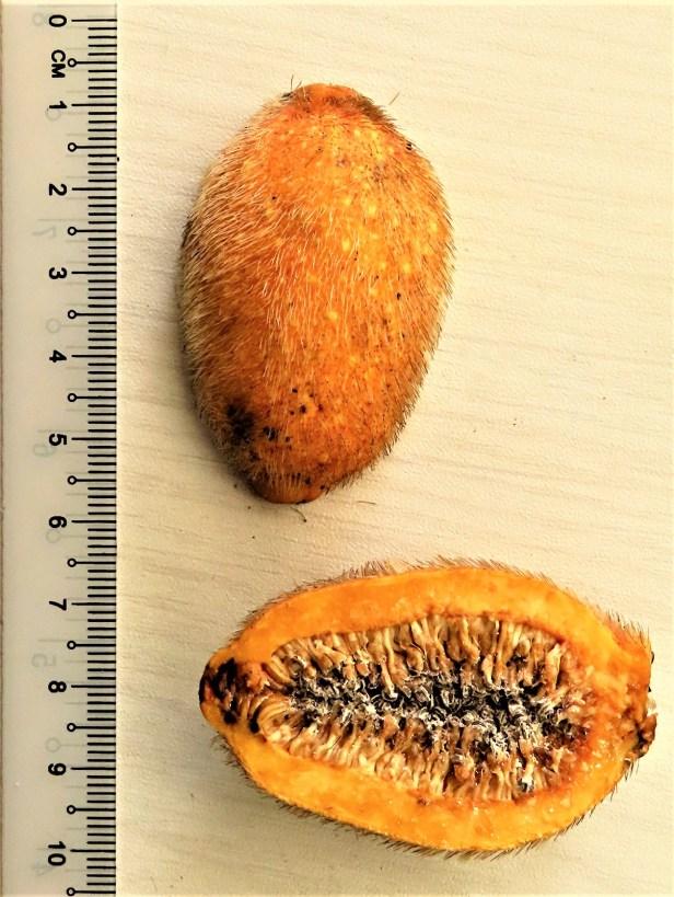 01 Ficus cucurbitina Deramakot Wong CX cucurb1_fruit (18).JPG