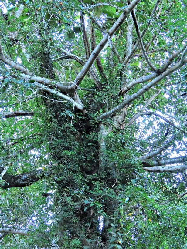 03 Ficus cucurbitina Deramakot Wong July 2020 (5)