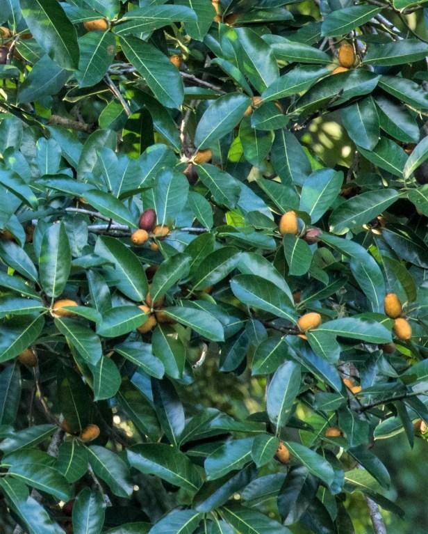 05 Ficus cucurbitina Deramakot 7 July 2020 Shavez Cheema (15).jpg
