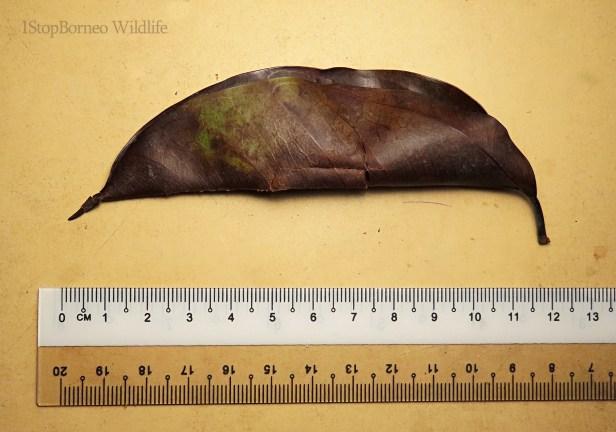 Ficus sundaica Inikea July 2020 Wong CX (1)