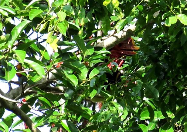 cucurb1_Hornbill Helmeted