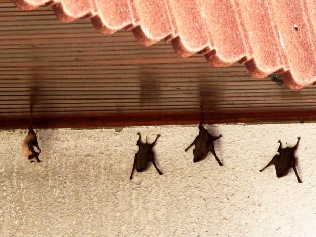 01 02 Tomb bats Tg Aru beach 3P7A2225