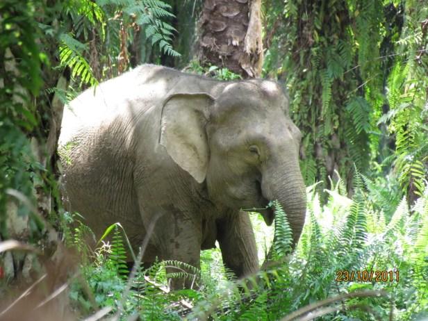 02 Bornean elephant IMG_5368.JPG