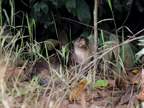 03 Otters Kinabtangan 3P7A0642.JPG