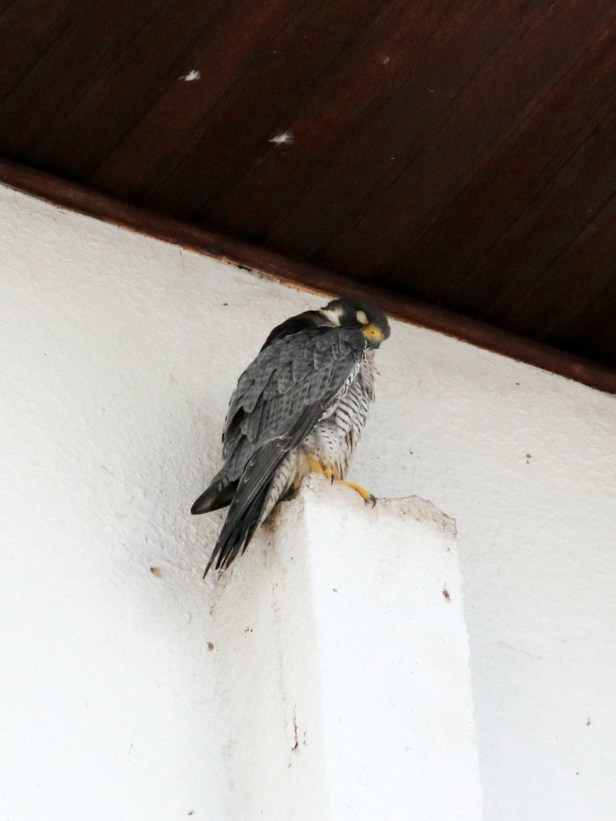 03 Peregrine Falcon Tg Aru Beach