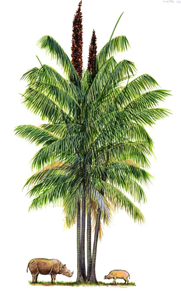 053 KPm Eugeissona Palm 300 DPI.jpg