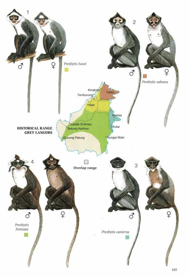 165Grey Langurs for web