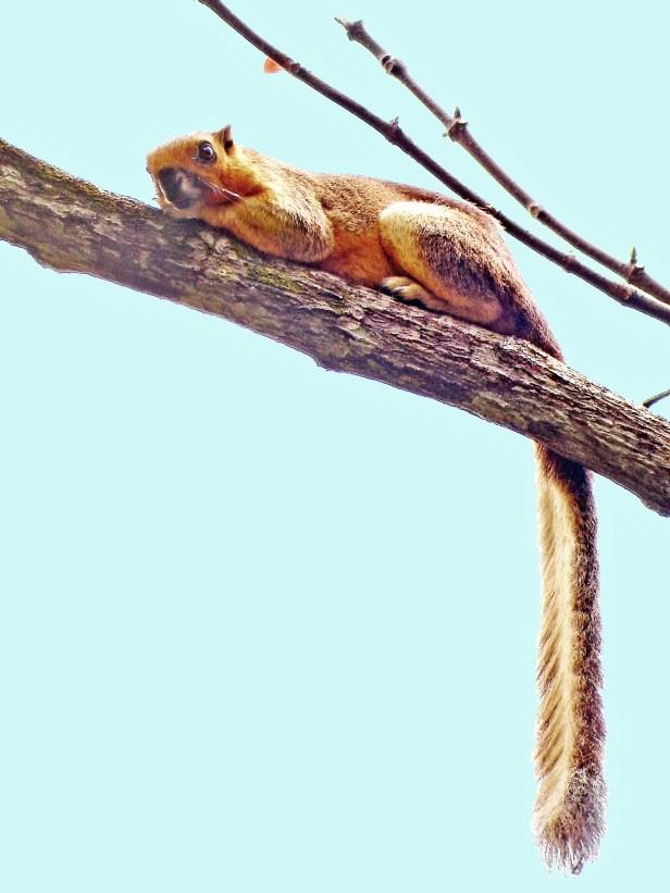 Giant Squirrel Tabin
