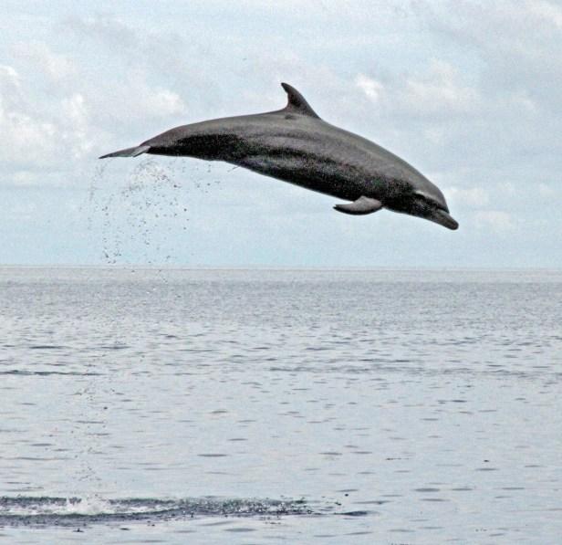 Maratua dolphin IMG_7575 v2.jpg