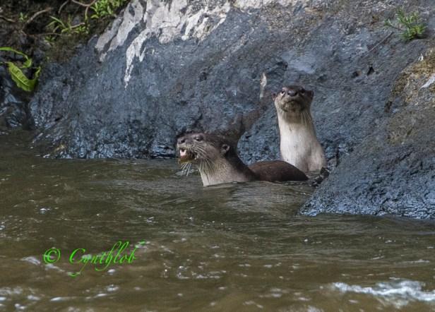 Smooth otter Ulu Ulu Resort.jpg