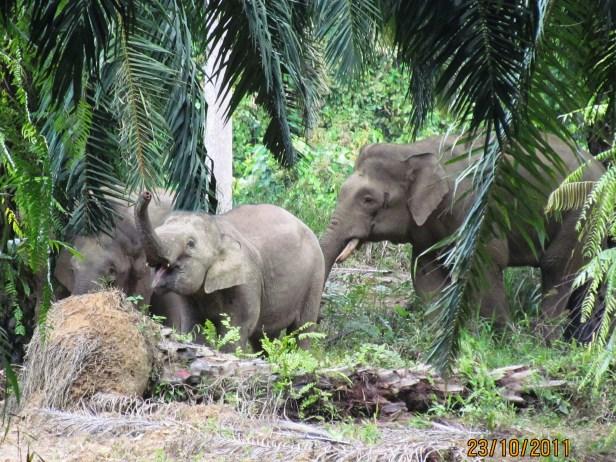 05 Elephants Tabin oil palm IMG_5421.JPG