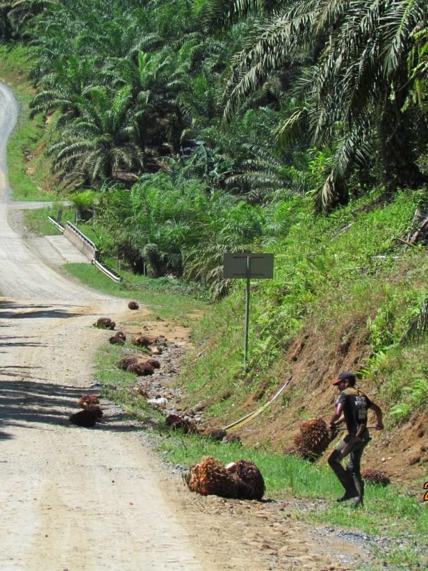 06 Harvesting oil palm fruit IMG_5451.JPG