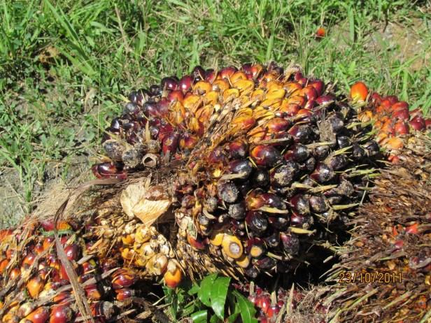 08 Oil palm fruit bunch IMG_5455.JPG