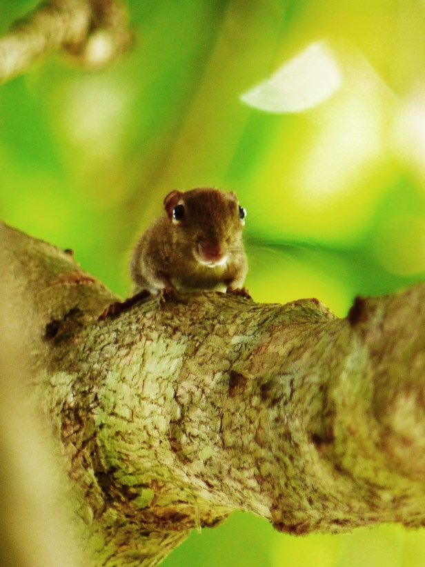 Bornean Pigmy Squirrel  P1060434.JPG