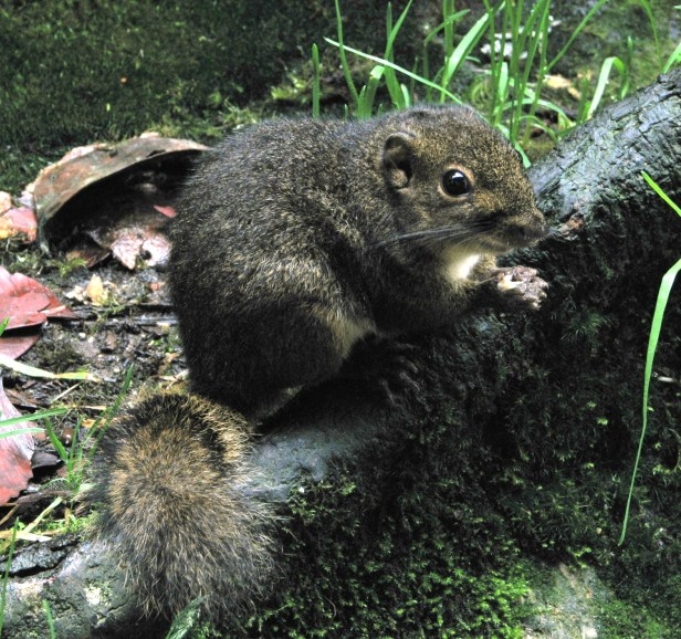 Mountain Ground Squirrel IMG_1031 .jpg