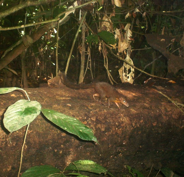 Plain Treeshrew Jungle Dave DSC00143