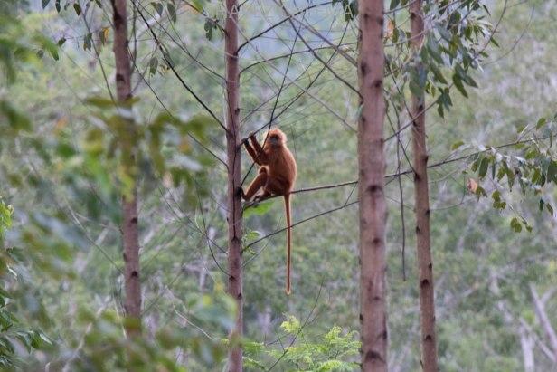 Shavez Red Langur Brumas Borneo 3N1A4560