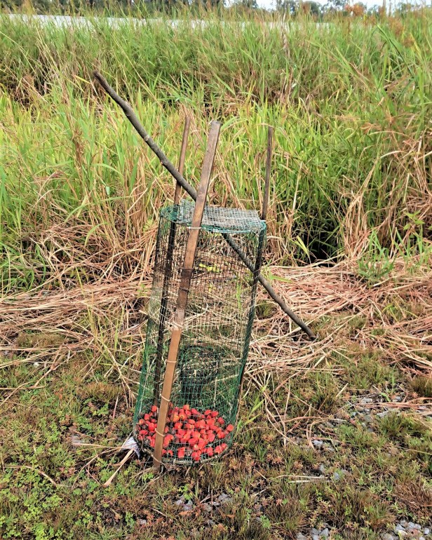 01Brunei Badas area rat trap_201807_Bosco Chan.JPG