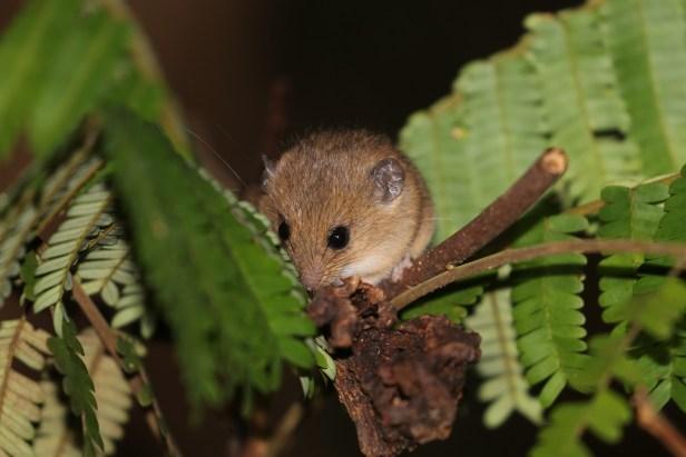 03 Haeromys Ranee Mouse at Deramakot .jpg