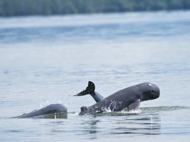 Shavez Cheema Irawaddy Dolphin Wallace Bay Tawau WEB