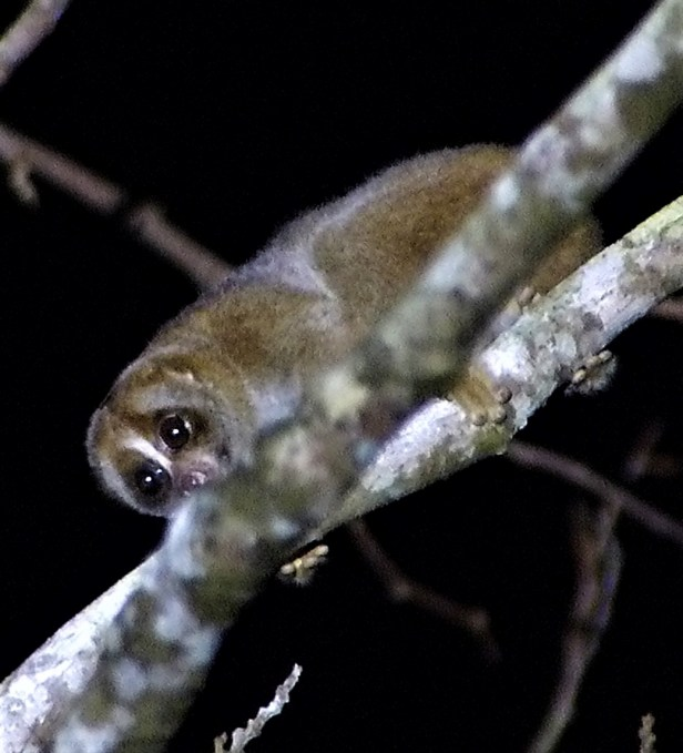 03 Slow Loris Brunei Jungle Dave P1140087.jpg