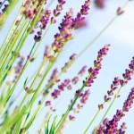 duftende lavendel, Foråret på spring