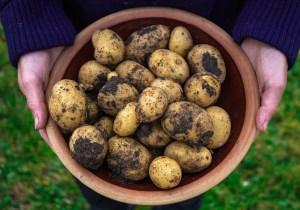 Kartofler i haven