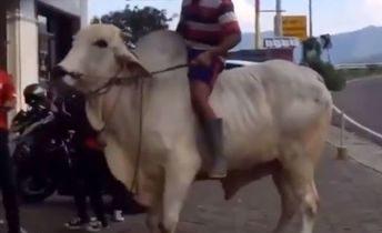 ILUSTRASI : Warga jalan-jalan sore dengan menaiki sapi