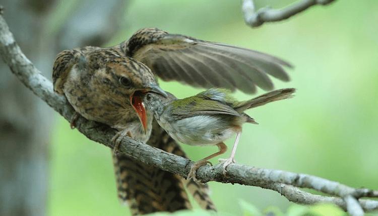 LICIK: Burung Kedasih (kiri) disuapi 'ibu tirinya'. (foto: ist)