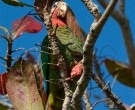 Amazona-Cubana-(4)