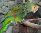 Amazona-de-hombro-gualda-(2)