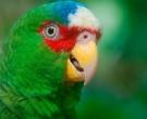 Amazona-Frentialba-(8)