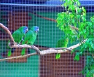 Amazona-gorjirroja-(2)