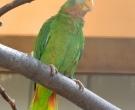 Amazona-Jamaicana-Piquiclara-(2)