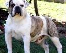 Bulldog Campeiro