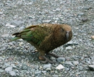 Kakapo-(3)