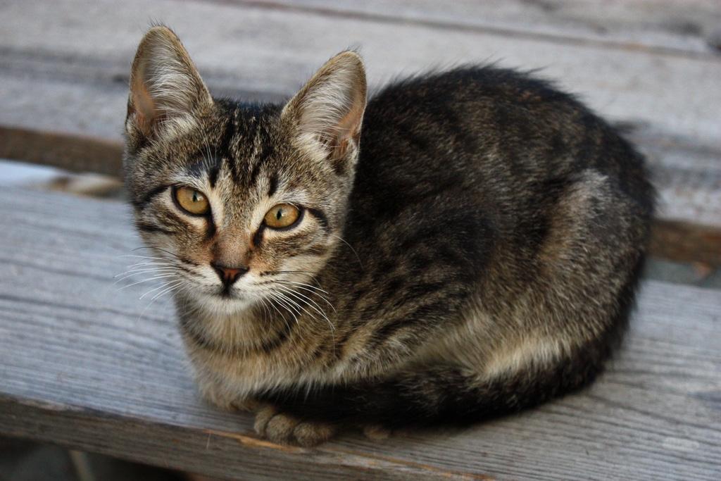 Cyprus cat